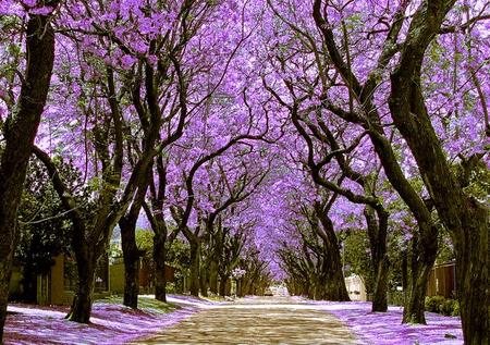 jacaranda-trees-street