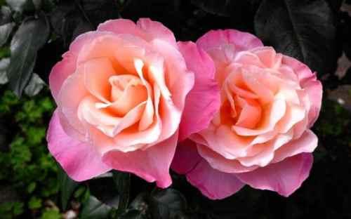 1Audrey-Hepburn-Rose-5-large.jpg